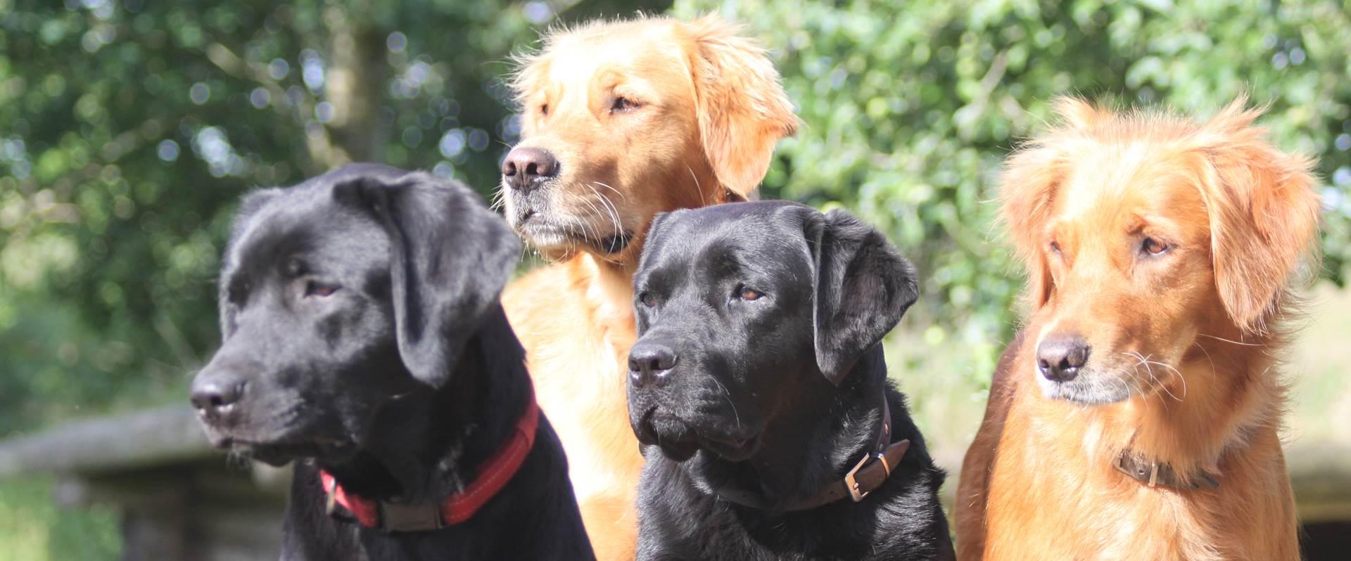 Billede af Sorte Hunde