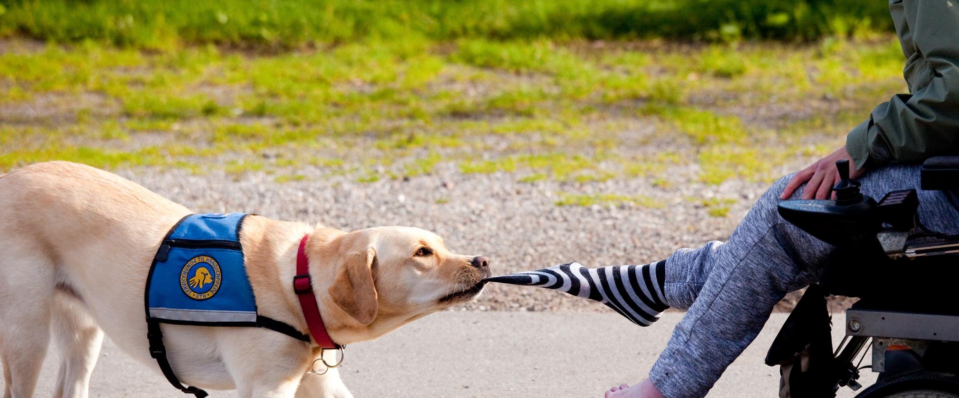 Billede af hund der trækker strømpe af